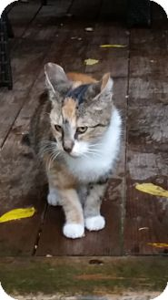 Domestic Shorthair Cat for adoption in Woodstock, Ontario - Sage
