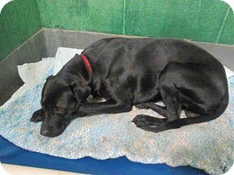 Labrador Retriever Mix Dog for adoption in Upper Marlboro, Maryland - *NILES