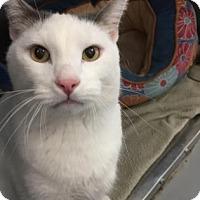 Domestic Shorthair Cat for adoption in Adrian, Michigan - Jasper