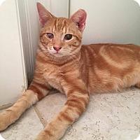 Bengal Kitten for adoption in Virginia Beach, Virginia - Pop
