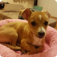 Adopt A Pet :: Roxy - Sherman Oaks, CA