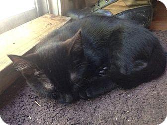 Domestic Shorthair Cat for adoption in Virginia Beach, Virginia - Echo