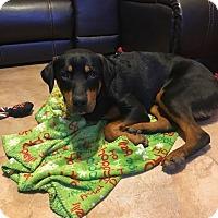 Adopt A Pet :: Spartan - Gilbert, AZ