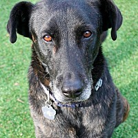 Shepherd (Unknown Type)/Labrador Retriever Mix Dog for adoption in Memphis, Tennessee - Captain