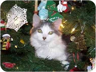 Domestic Mediumhair Cat for adoption in Mesa, Arizona - Frankie