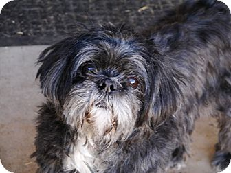 Shih Tzu Dog for adoption in Chandler, Arizona - Abby