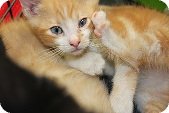 Maine Coon Kitten for adoption in Santa Monica, California - Enzo