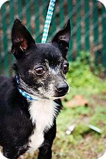 Chihuahua Mix Dog for adoption in Crawfordville, Florida - Cysco