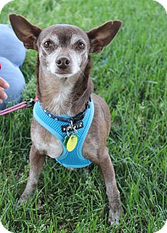 Chihuahua Mix Dog for adoption in Westminster, Colorado - Carmello