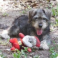 Adopt A Pet :: Ziggy - Ormond Beach, FL