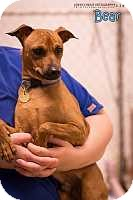 Miniature Pinscher Mix Dog for adoption in Syracuse, New York - Bear