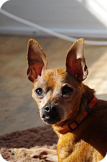 Miniature Pinscher Dog for adoption in Virginia Beach, Virginia - Henry