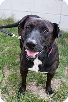 Labrador Retriever/Shar Pei Mix Dog for adoption in Woodland Hills, California - ATHENA DOGGESS OF WISDOM