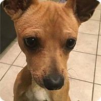 Adopt A Pet :: Bowie - Mesa, AZ