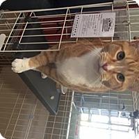 Adopt A Pet :: Bobby - Cashiers, NC