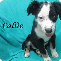 Adopt A Pet :: Callie - Bartonsville, PA