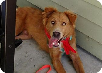 Golden Retriever Mix Dog for adoption in Murrells Inlet, South Carolina - Chance