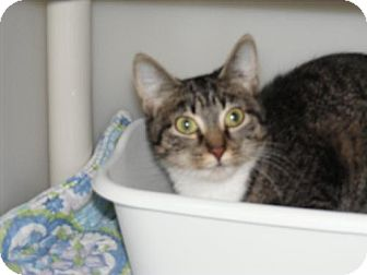 Domestic Shorthair Cat for adoption in Milwaukee, Wisconsin - Gracie