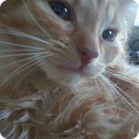 Adopt A Pet :: Butterscotch ADOPTION PENDING - Taylor, MI
