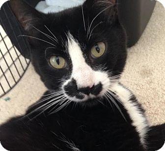 Domestic Shorthair Cat for adoption in Salisbury, Massachusetts - Smidgen