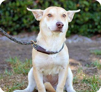Corgi/Carolina Dog Mix Puppy for adoption in San Diego, California - Vollmer
