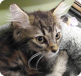 Domestic Mediumhair Kitten for adoption in Las Vegas, Nevada - Reno (Kitten)
