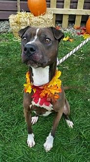 Shar Pei Mix Dog for adoption in Ashtabula, Ohio - Gremlin