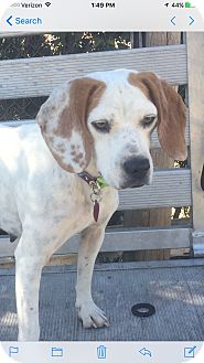 Beagle/Boxer Mix Dog for adoption in Harrisonburg, Virginia - Liberty  (ETAA)