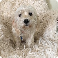 Adopt A Pet :: White Mocha-ADOPT Me! - Redondo Beach, CA
