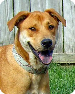 Retriever (Unknown Type)/Shar Pei Mix Dog for adoption in Greenfield, Indiana - Brody