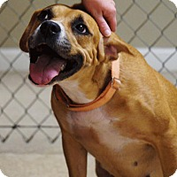 Boxer/Hound (Unknown Type) Mix Dog for adoption in Pittsburgh, Pennsylvania - Karma