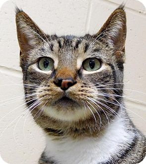 Domestic Shorthair Cat for adoption in Jefferson, Wisconsin - Grant