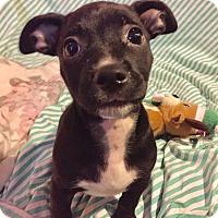 Adopt A Pet :: Portia (BH) - Santa Ana, CA