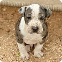 Adopt A Pet :: Vance - San Antonio, TX
