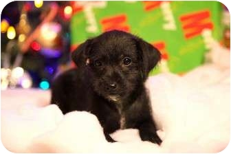 rat terrier poodle mix kramer adopted puppy st louis mo poodle miniature 7844