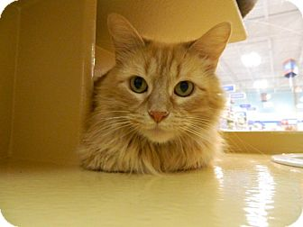 Domestic Mediumhair Cat for adoption in The Colony, Texas - Brand