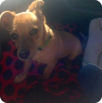 Chihuahua/Dachshund Mix Puppy for adoption in Oceanside, California - Radar