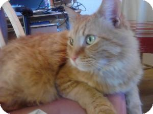 Domestic Longhair Cat for adoption in Sacramento, California - Tiger