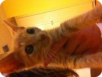 Domestic Shorthair Kitten for adoption in Lighthouse Point, Florida - Cheeto