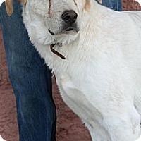 Adopt A Pet :: Sampson - Palmdale, CA