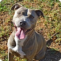 American Staffordshire Terrier Mix Dog for adoption in Santa Barbara, California - Lucy