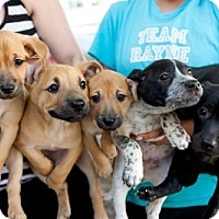 Adopt A Pet :: Peter Pan Puppies - Males - San Diego, CA