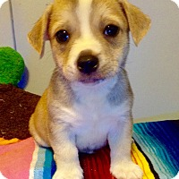 Adopt A Pet :: Hoover (ARSG) - Santa Ana, CA