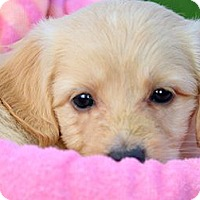 Adopt A Pet :: TULIP(OUR GOLDENDOODLE PUPPY! - Wakefield, RI