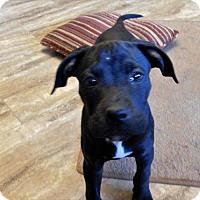 Adopt A Pet :: Star - Aurora, CO