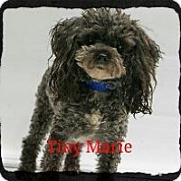 Adopt A Pet :: Tiny Marie - Old Saybrook, CT