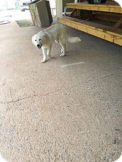 Golden Retriever Mix Dog for adoption in Wichita Falls, Texas - Aiden