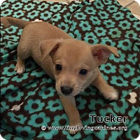 Adopt A Pet :: Tucker - Simi Valley, CA