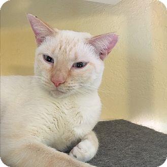 Siamese Cat for adoption in Lauderhill, Florida - Aven