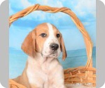 Labrador Retriever/Coonhound Mix Puppy for adoption in Pittsboro, North Carolina - Tucker